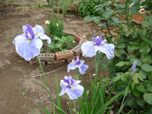 お庭の花 009.JPG