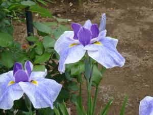 お庭の花 010.JPG