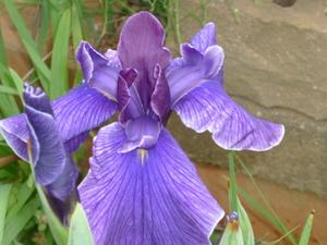 お庭の花 011.JPG