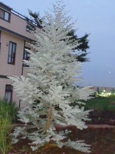 夕方の庭 033.JPG