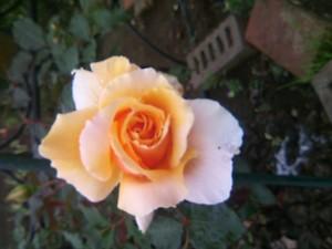 庭のバラ 033.JPG