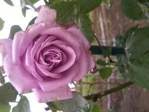 庭のバラ 036.JPG