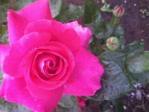 庭のバラ 038.JPG
