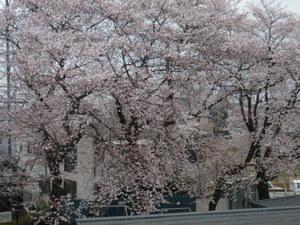 桜 029.JPG