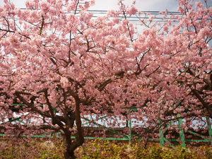 桜 042.JPG