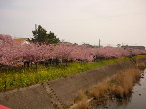 桜 045.JPG